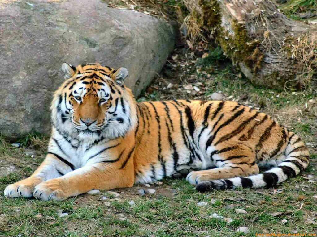 Fotos de Tigres Leones Pumas Leopardos Panteras Linces